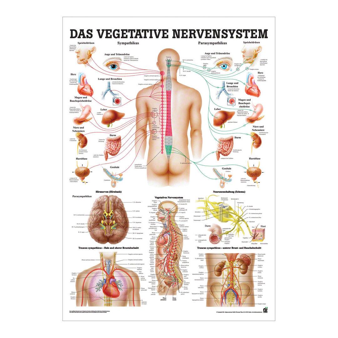 Ungewöhnlich Anatomie Von Frauen Fortpflanzungssystem Ideen ...