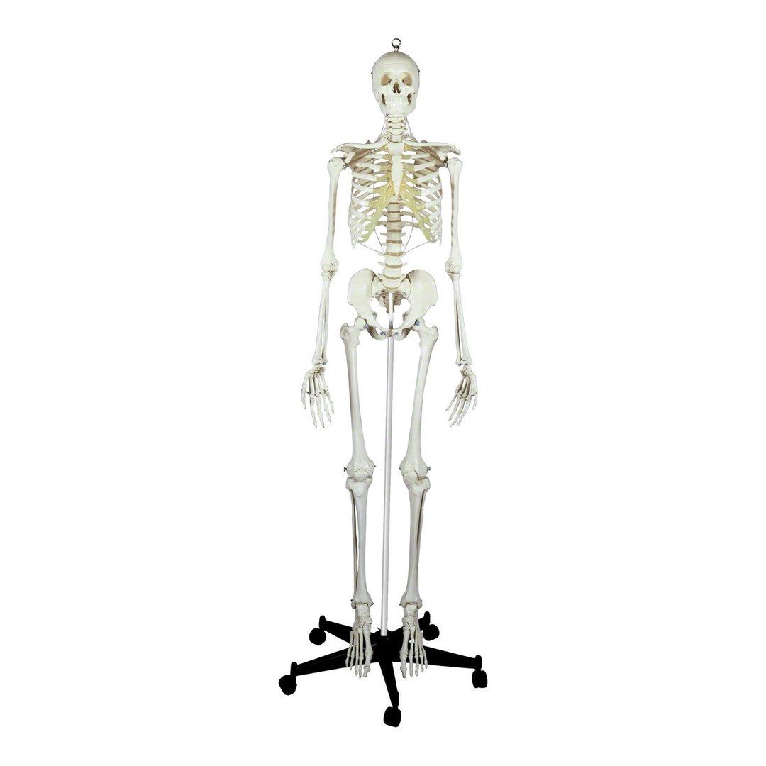 Skelett Standard inkl. Stativ, 180 cm - CM-Medizintechnik
